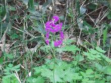 オオサクラソウの花