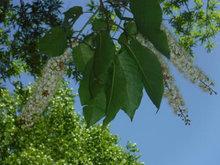 シウリザクラの花