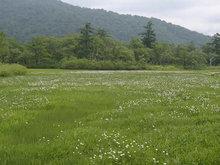 湿原とワタスゲ